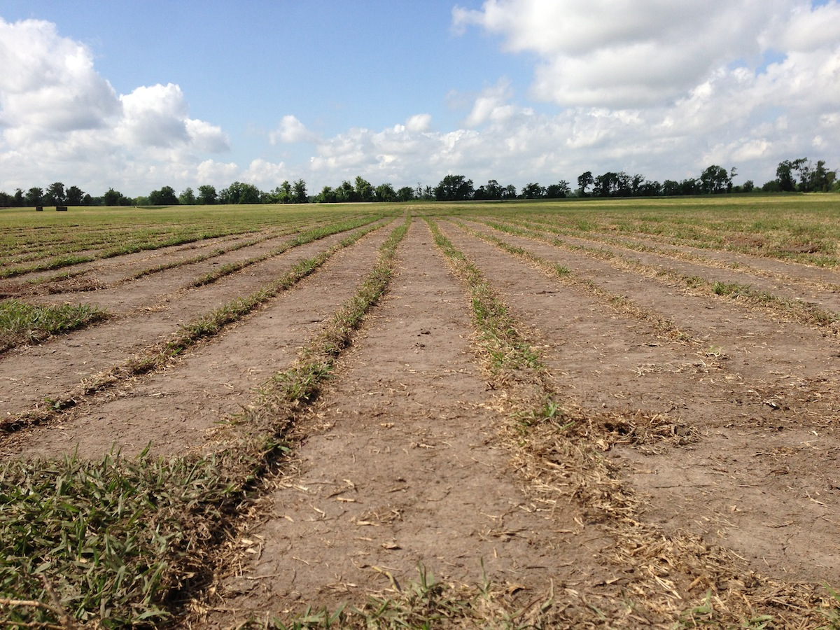 And the Same St. Augustine Field One Week Later…
